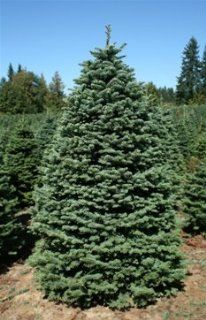 7.5   8 foot Full Noble Fir Real, Live, Fresh Cut Christmas Tree